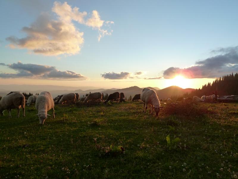 Стадо овец на полонине Лисича